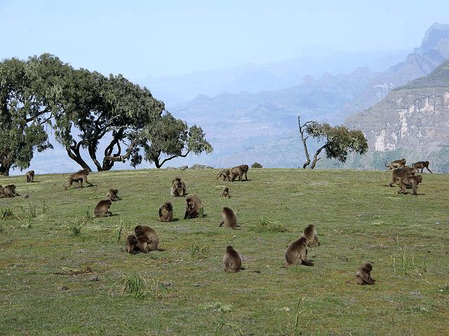 Opice v Národnom parku Simien, Etiópia